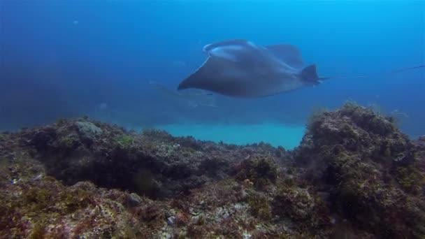 Manta Ray  Leopárdcápa úszás a közelben. Kecses nagy sáska kék tengervízben