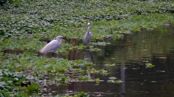 Pomalý pohyb dvou dospělých bílých Egretta Garzetta ve vodě jezera. Malý ptáček v jezírku lesoparku Daan v Taipei City, Taiwan-Dan