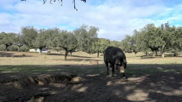 4K, Black Iberian pigs grazing through the oak trees in grassland Extremadura. Spain dehesa landscape. Spanish hogs in field a day of winter. Agricultural farm-Dan