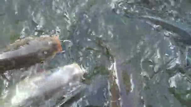 4K Viele Karpfen im Teich, die Fische schwammen an die Wasseroberfläche in Taiwan-Dan