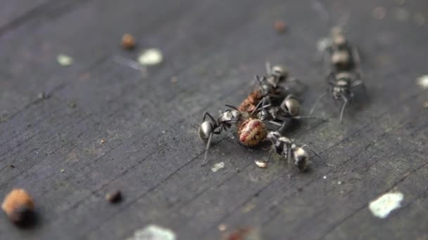 Macro slow motion group of ant Polyrhachis latona attacking and eating a caterpillar wild of forest Taiwan. Slow-mo of lots big ants troop carry dead bug to nest for food. Closeup colony formicary-Dan