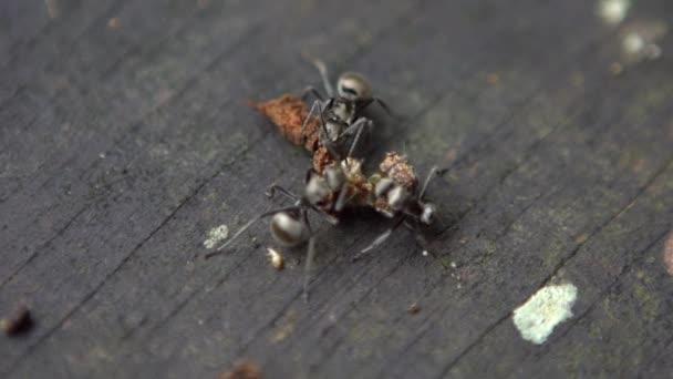 Macro lassított felvétel csoport hangya Polyrhachis latona támadó és eszik egy hernyó vad erdő Tajvan. Sok nagy hangya hordja a döglött bogarat, hogy élelemért fészkeljen. Szoros kolónia formikárium-Dan