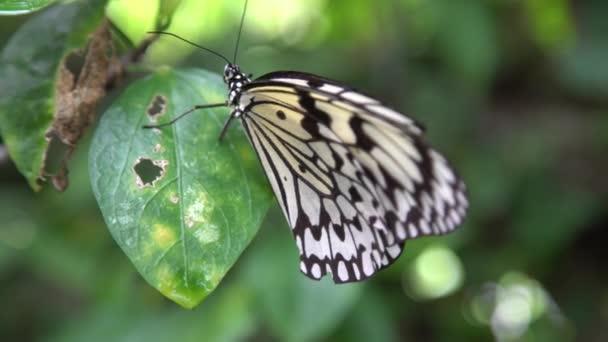 4K Dospělý Malabar strom nymfa odpočívá na listu, se nachází v lesních tropických mýtiny. Malabarská stromová nymfa nebo Idea malabarica je velký motýl. -Dan