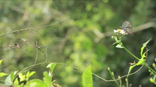 Motýl Skleněný tygr sedící na květině v mlze Tchaj-wanu-Dana