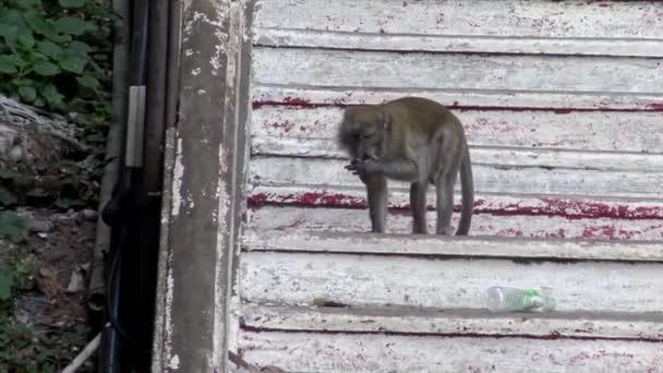 4K, asijská macaque opice na schodech Batu Jeskyně chrámu. Portréty kraba-jíst makaka také známý jako dlouhoocasý makak v Malajsii. Wild macaca fascicularis-Dan