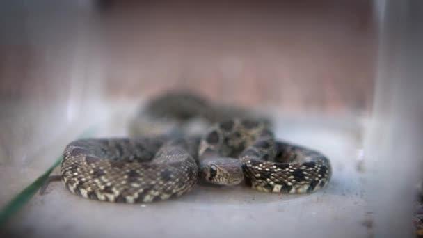 Slow Motion of Smooth kígyó tekercselt, és vegye ki a nyelvet egy üveg doboz belsejében. A Coronella Austria nem mérgező kolubid faj Európában. - Dan!