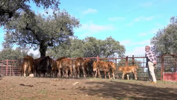 Extremadura, Španělsko-08 Prosinec 2017: 4K, Kavkazští farmáři stojí a mluví na pracovišti poblíž krav. Krávy pasoucí se na zemědělské farmě ve Španělsku. Spanish Bull jíst trávu v poli-Dan