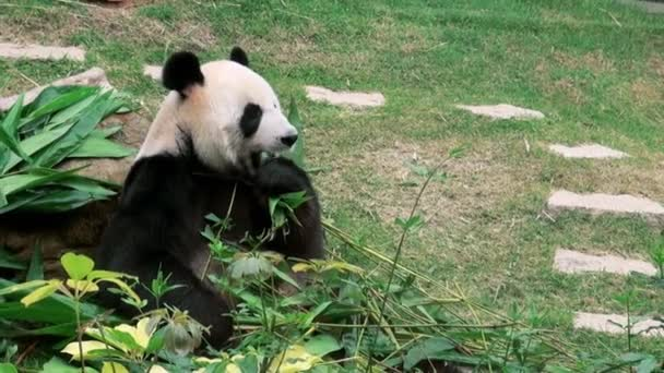 A Giant Panda bear eating bamboo, Filmed at Zoo-Dan
