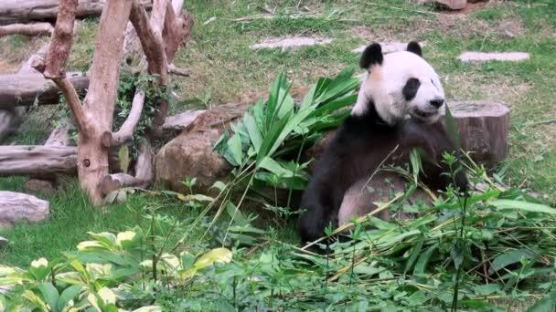 A Giant Panda bear eating bamboo, Filmed at Zoo-Dan