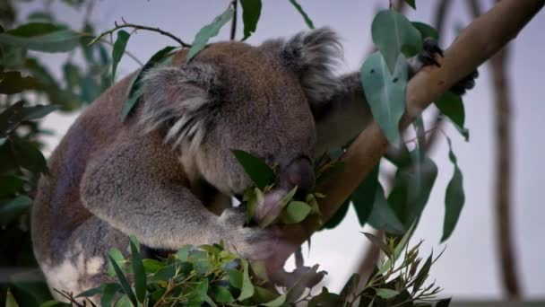 Slow Motion of a cute koala eating green leafs of eucalyptus tree in a woodlands at the zoo. Phascolarctos cinereus is an arboreal herbivorous marsupial native to Australia. Animal is feeding-Dan