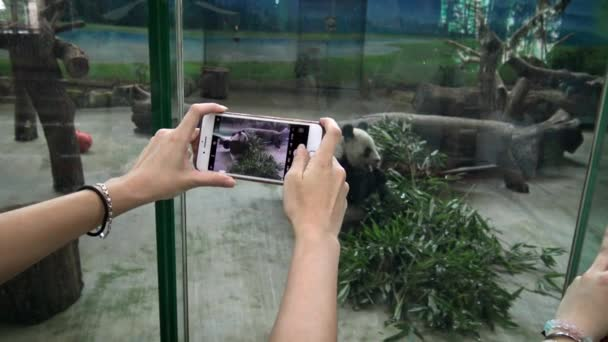 4K, Asian girl taking photograph with camera phone of panda bear eating bamboo in the zoo. Woman looking a cute giant panda in captivity and picture with smartphone-Dan