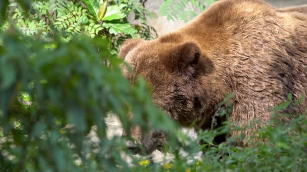 Slow Motion, close up of a wild Brown Bear walking free through trees and plants at the forest in a summer day. Big adult Ursus Arctos looking for food in the mountain. Beautiful nature wildlife-Dan
