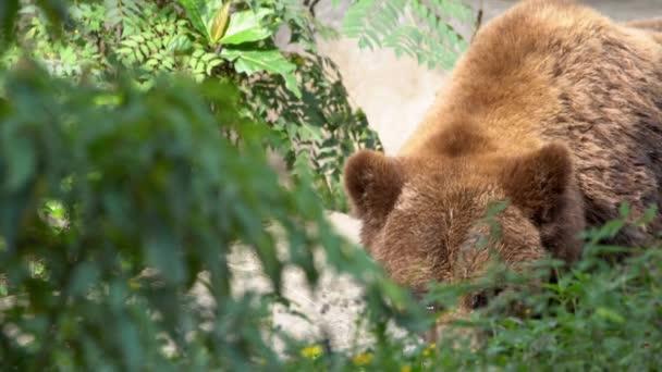 Pomalý pohyb, zblízka divoký medvěd hnědý procházející se v letním dni mezi stromy a rostlinami v lese. Velký dospělý Ursus Arctos hledá jídlo v horách. Krásná příroda divoká-Dan