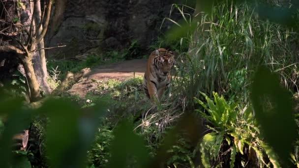 Pomalý pohyb bengálského tygra ležícího v lese mezi stromy v zoo. Asijské Panthera tigris tigris v přírodě volně žijících živočichů v rezervaci. Tygřice žije v tropických lesních stanovištích Asie-Dan