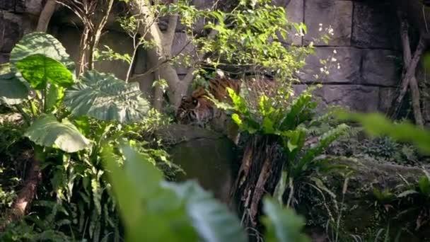 A bengáli tigris az erdő füvén eszik két fa között az állatkertben. Ázsiai Panthera tigris tigris a természetben vadon élő állatok egy rezervátumban. A tigris Ázsia-Dan trópusi erdei élőhelyein élő faj.