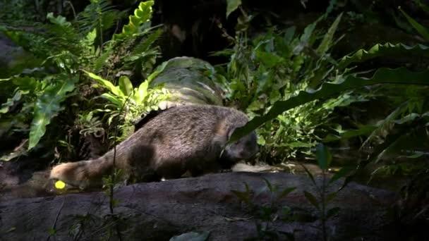 Pomalý pohyb kraby-jíst manhusy procházky mezi stromy v přírodě volně žijících živočichů na večer. Herpestes urva je druh mangy žijící v asijském lese. Zvířecí procházka v zoo.