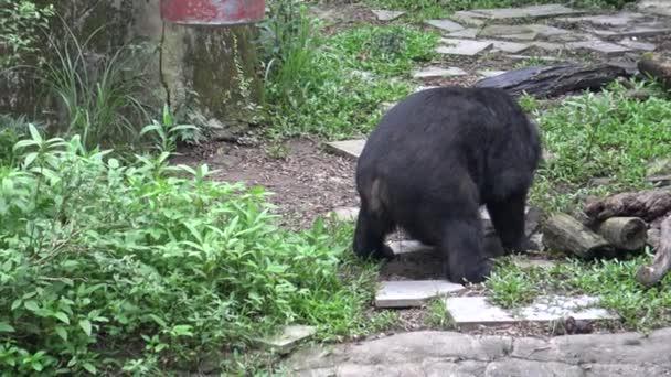 4k Dospělý Formosa Black Bear Pooping. Ursus Thibetanus Formosanus v horkém létě v zoo-Dan