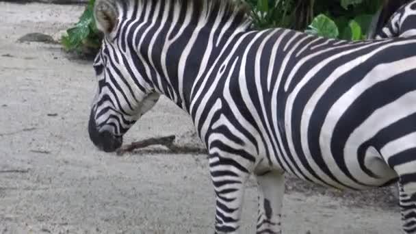 4k, Planiny zebra v zoo, také známý jako společné zebry nebo Burchell zebra (Equus quagga, dříve Equus burchellii) -Dan
