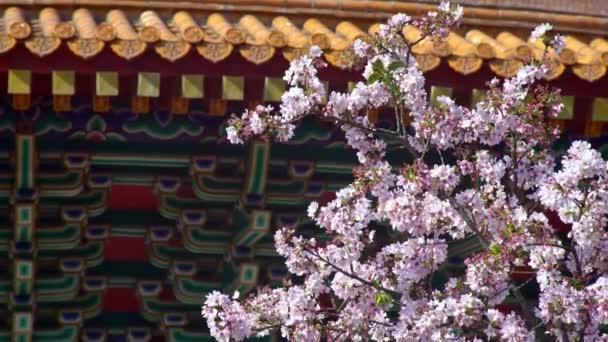 4K Cherry květ sakura květ v chrámu Tian Yuan Gong v Tamsui. Chrám nebes je vysoká pagoda svatyně věnovaná různým taoistickým bohům. Tianyuan je turistická destinace Tchaj-wan v Taipei-Dan
