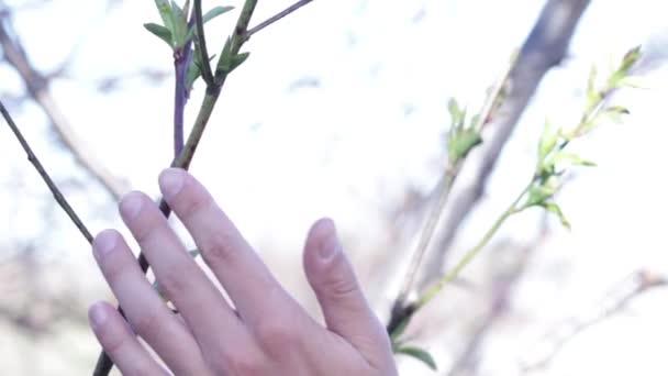 člověk dělá prořezávání ovocných strom větví