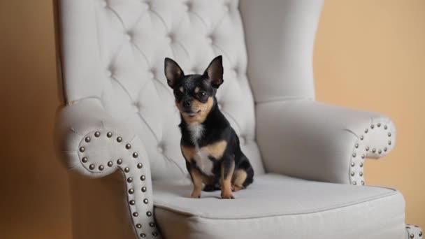 Mini fekete bézs fehér chihuahua szürke kanapén. fekete barna fehér csivava. Egy kisállat ül otthon a kanapén. Mini Chihuahua fajta egy karosszékben vagy kanapén. Jól ápolt telivér kutya