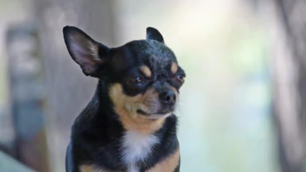 Kisállat kutya Chihuahua sétál az utcán. Chihuahua kutya sétálni. Chihuahua fekete, barna és fehér. Aranyos kiskutya kora reggel sétálni. Mini fajta Chihuahua Sima Gyorsírás