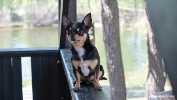 Zvířecí pes Chihuahua chodí po ulici. Chihuahua pes na procházku. Chihuahua černá, hnědá a bílá. Roztomilé štěně brzy ráno na procházce. Mini plemeno Chihuahua hladké krátké vlasy