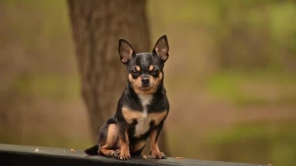 Kisállat kutya Chihuahua sétál az utcán. Chihuahua kutya sétálni. Chihuahua fekete, barna és fehér. Aranyos kiskutya kora reggel sétálni. Mini fajta Chihuahua Sima