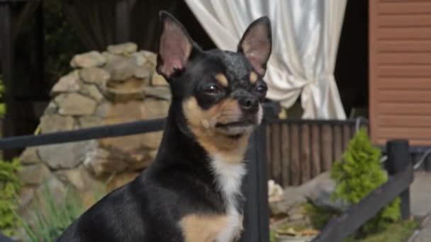 Kiskutya sétál az utcán. Chihuahua kutya sétálni. Chihuahua fekete, barna és fehér. Aranyos kiskutya sétál. Kutya a kertben vagy a parkban Jól ápolt kutya Chihuahua mini sima hajú