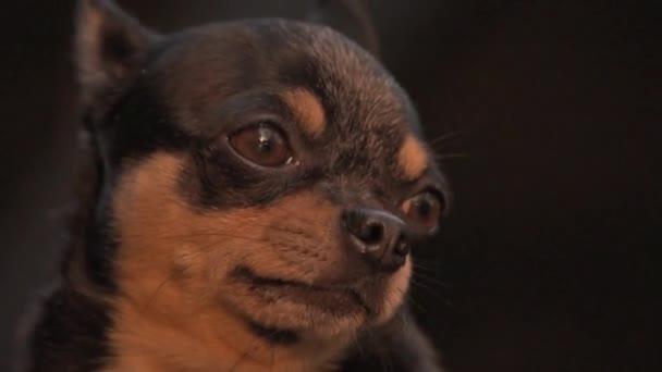 Kisállat kutya Chihuahua sétál az utcán. Chihuahua kutya sétálni. Chihuahua fekete, barna és fehér. Aranyos kiskutya sétál. Mini fajta Chihuahua Sima Gyorsírás