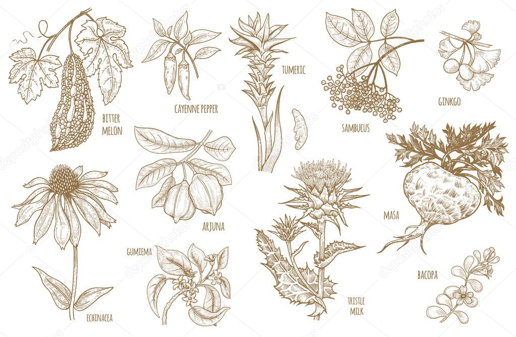 Vector illustration Ayurvedic herbs.