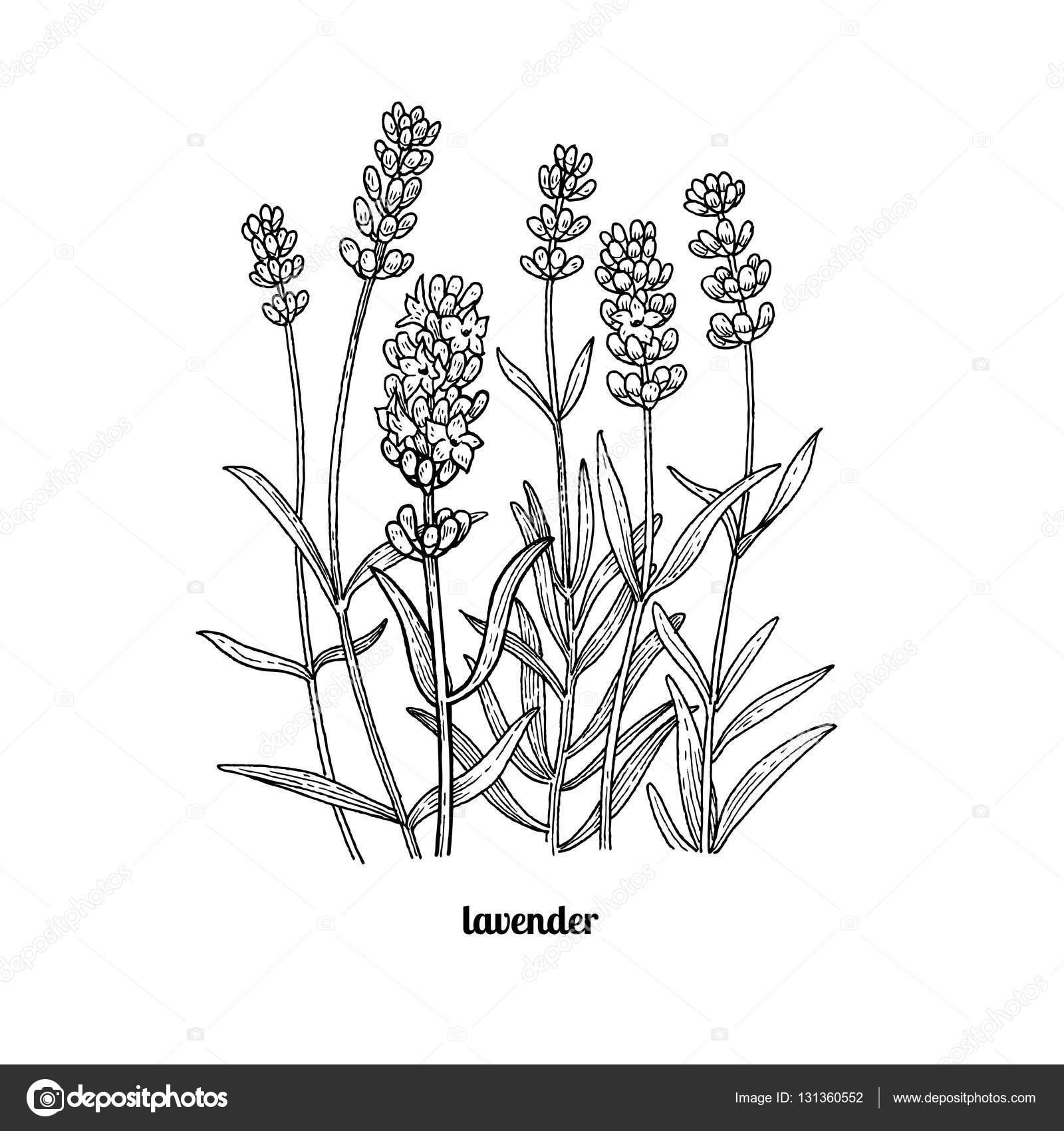 drawing lavender flowers � stock vector 169 sashakasha