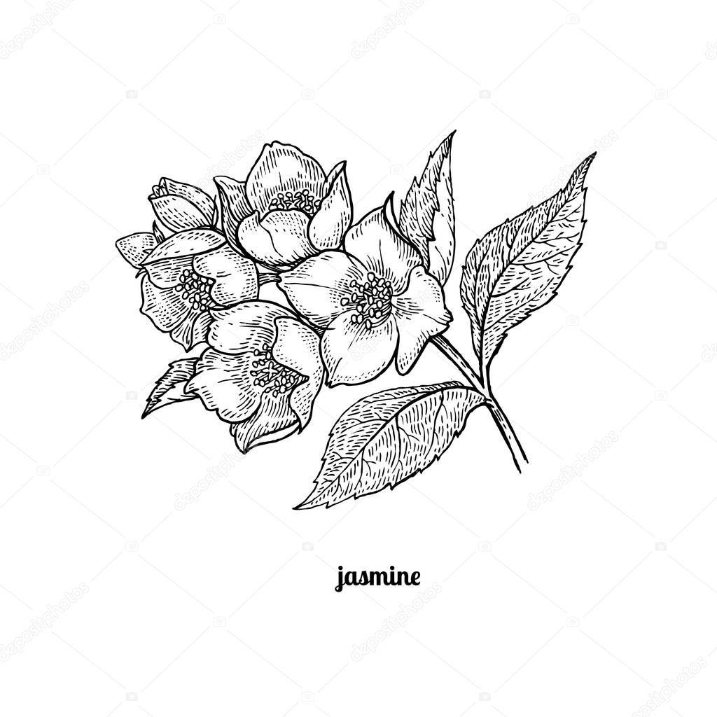 Branch of jasmine flowers.