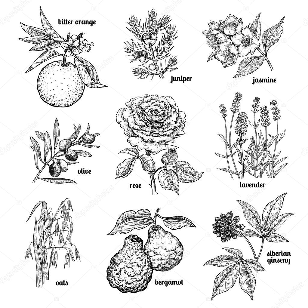 Set plants used in medicine, cosmetics, cooking.