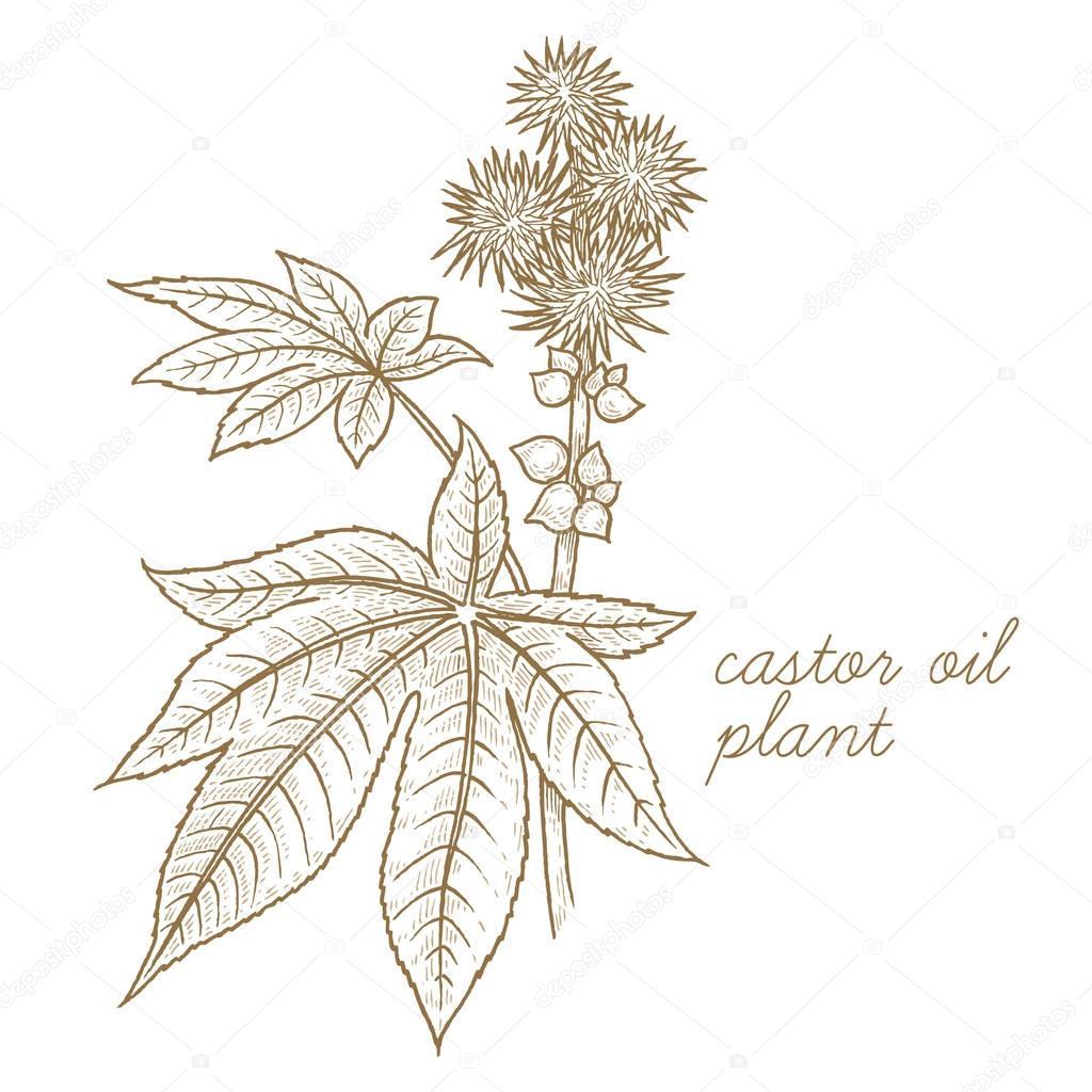 Vector image of medical plants. Castor oil plant.