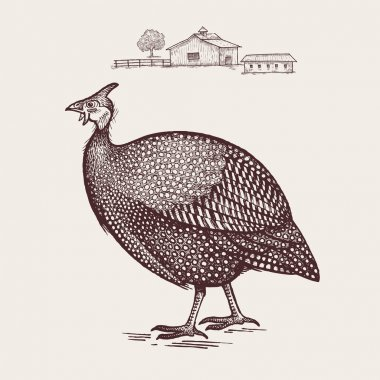 Poultry guinea fowl.