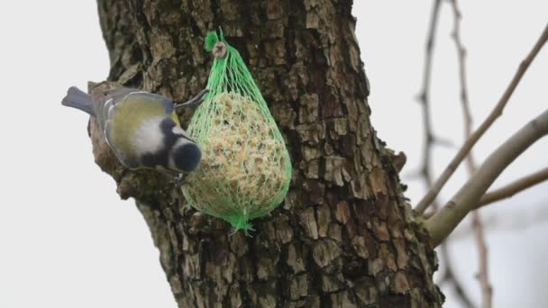 bird blue tit on bird feeder in winter