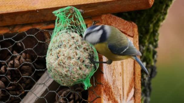 a Madáretető a téli madár, kék cinege