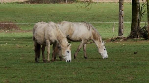 Dva bílí koně na pastvině