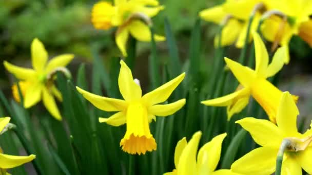 Yellow daffodils flower in the wind