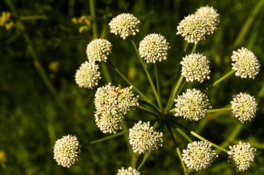 Anthriscus sylvestris or cow parsley Umbel
