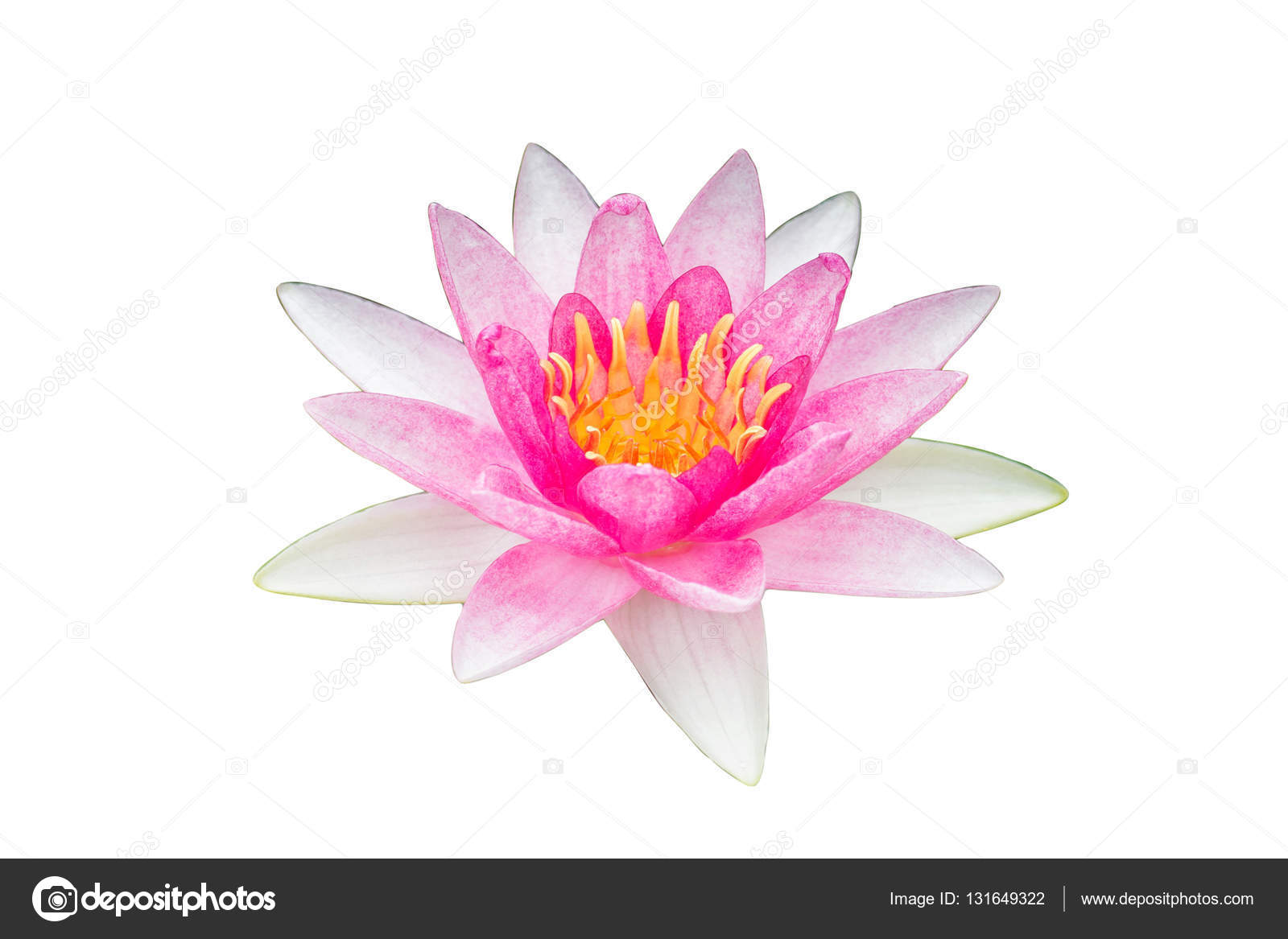 White Pink Lotus Flower On White Background Stock Photo