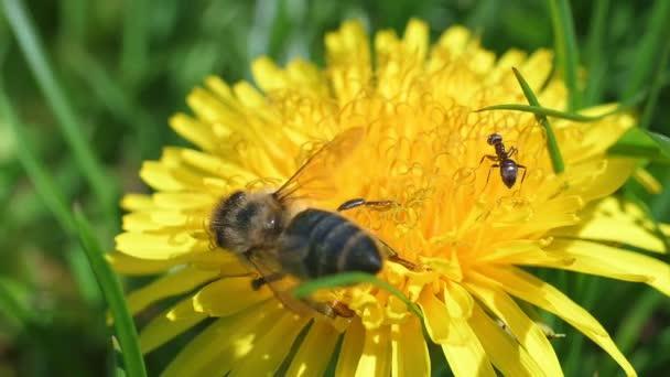 Včela na pampelišce sbírá pyl.
