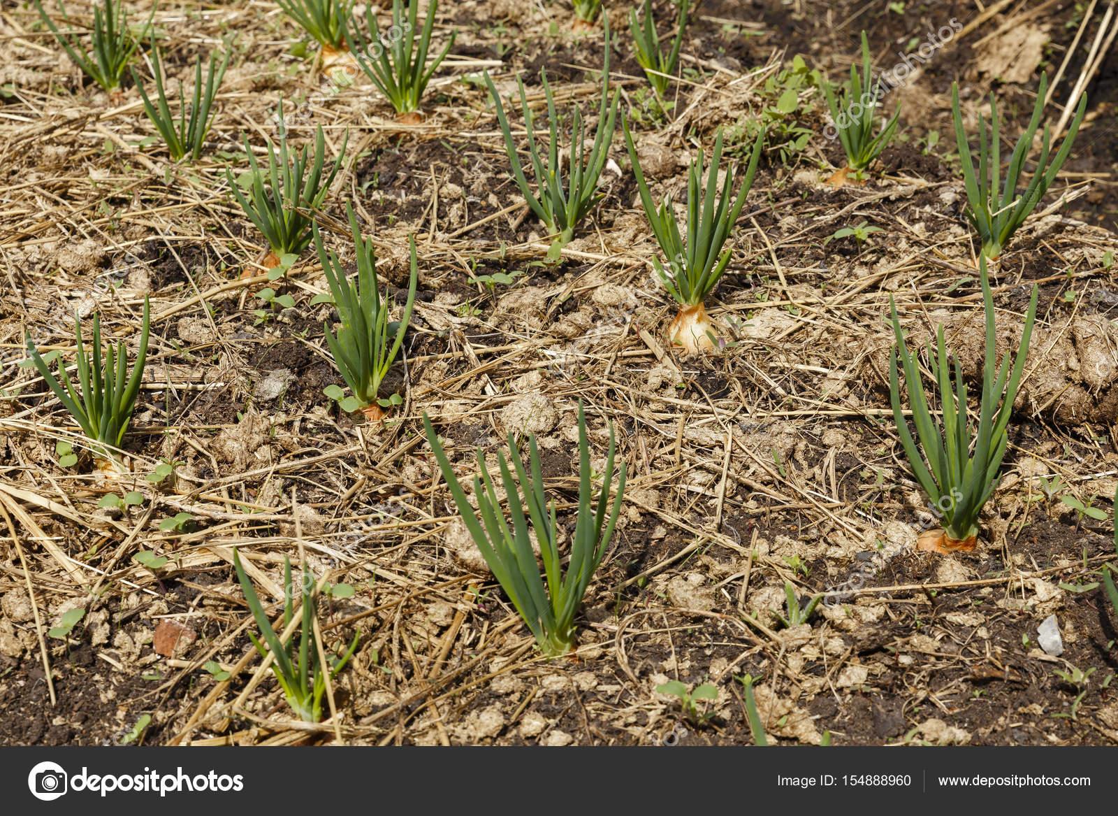 Zielona Cebula Rośnie Na łóżku Zdjęcie Stockowe Mieszko9