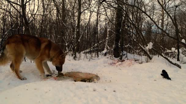 divoký pes jí zvířecí ostatky ležící na sněhu v zimním lese