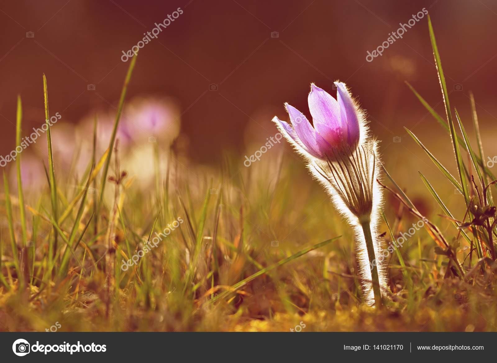 Springtime season beautiful purple flowers blooming in a sunny day beautiful purple flowers blooming in a sunny day with a natural colored izmirmasajfo