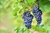Fotografie Při západu slunce v podzimní sklizeň vinice. Zralé hrozny. Vinařská oblast, Jižní Morava - Česká republika. Vinice pod Palava