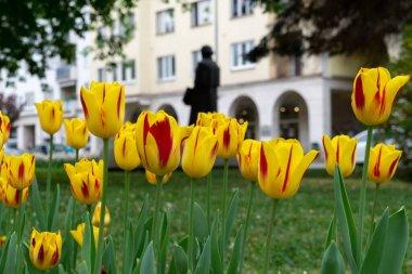 beautiful Tulips in the park. Slovakia