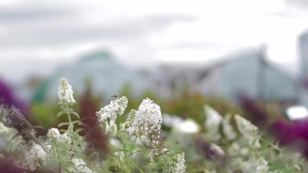 closeup of beautiful lavander flowers