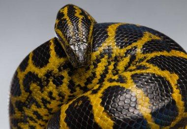 Crawling yellow anaconda in knot